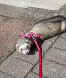 Adult fable hon ferret by River Nith Dumfriess. Exploring Dumfries and Galloway royalty free stock images