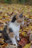 Exploring in the Fall. Calico kitten playing in the leaves Stock Images