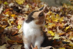 Exploring in the Fall. Calico kitten playing in the leaves Stock Image