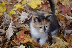 Exploring in the Fall. Calico kitten playing in the leaves Royalty Free Stock Photo