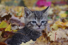 Exploring in the Fall. Tiger kitten playing in the leaves Stock Images