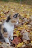 Exploring in the Fall. Tiger kitten playing in the leaves Royalty Free Stock Photography