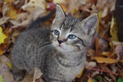 Exploring in the Fall. Tiger kitten playing in the leaves Royalty Free Stock Photos