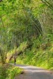 Exploring lush green bamboo forest Royalty Free Stock Images
