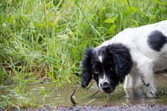 Exploring muddy puddles, a young spaniel puppy taking a look in a muddy puddle. stock photo