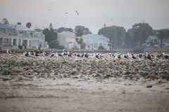 Flock on birds waking up on Paarden Eiland Beach at sunrise with houses in the background. Exploring Paarden Eiland, Cape Town at sunrise Stock Image