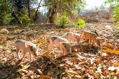 Exploring piglets Stock Image