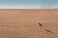 Exploring Plover Royalty Free Stock Photography