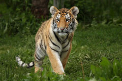 Exploring The World. Amur Tiger Cub walking towards viewer Stock Images