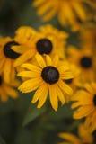 Explosão amarela da flor imagem de stock royalty free