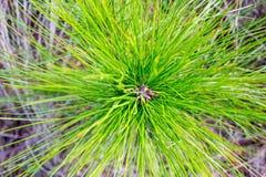 Explosión de la aguja del pino Foto de archivo