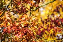 Explosión roja y amarilla del color del otoño imagen de archivo