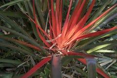 Explosión roja y verde de la bromelia en primavera Foto de archivo