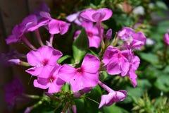 Explosión rosada de la floración de la flor del polemonio Imagen de archivo
