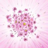 Explosión rosada de las margaritas Fotos de archivo