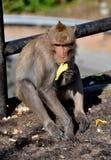 Explosión Saen, Tailandia: Mono que come el plátano Fotos de archivo