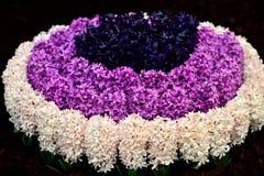 Explosion av hyacinter Royaltyfri Foto