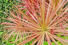 Explosion of colors on a sharp blade plant. Closeup shot of a very colorful sharp blade plant. Shape of leaves resemble an explosion or fireworks. Vivid red stock photo