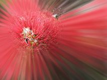 Explosion de Pohutukawa photo stock