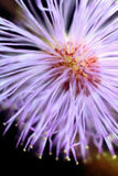 'Explosive' view of Mimosa pudica inflorescence. Closeup of a Minosa pudica (sensitive plant) inflorescence (head) showing the tiny floret red petals, and pink royalty free stock photography