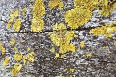 Explota los árboles con el hongo amarillo del musgo Fotografía de archivo