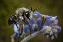 Explotación-abeja cenicienta masculina Fotografía de archivo