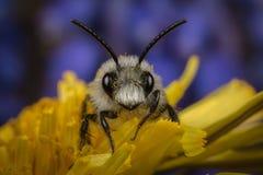 Explotación-abeja cenicienta masculina en un diente de león Imagen de archivo libre de regalías