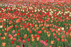 Expo flower garden. Beautiful  tulips in flower garden arrangement of expo,Jinzhou city,China Royalty Free Stock Photo