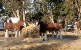 Expo fonctionnante de cheval de Moora Image libre de droits