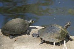 Expondo ao sol tartarugas perto de Wilmington North Carolina Fotografia de Stock Royalty Free