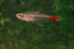 exponeringsglas för akvariumbloodfishfisk Arkivbilder