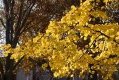 exponeringsglas låter vara lindenen misted över fotograferande yellow Gulna sidor på filialerna av ett träd Höstbakgrund från sid Fotografering för Bildbyråer
