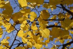 exponeringsglas låter vara lindenen misted över fotograferande yellow Gulna sidor på filialerna av ett träd Höstbakgrund från sid Arkivfoto