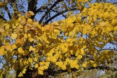 exponeringsglas låter vara lindenen misted över fotograferande yellow Gulna sidor på filialerna av ett träd Höstbakgrund från sid Royaltyfri Fotografi