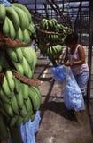 Exportaciones centroamericanas del plátano foto de archivo libre de regalías