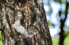 Exposé introductif de texture d'écorce de bouleau Photos libres de droits