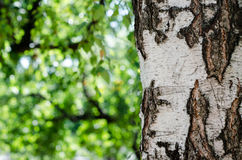 Exposé introductif de texture d'écorce de bouleau Photo libre de droits