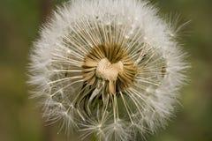 Exposed dandelion head Stock Images