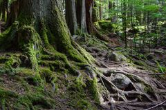 Free Exposed Moss Covered Roots And Tree Trunks Stock Images - 145032184