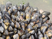 Exposed mussels on a rock at low tide Royalty Free Stock Images