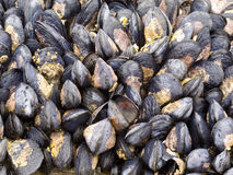 Exposed mussels on a rock at low tide Stock Images