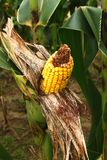 Exposed peeled back corn on a stalk. An ear of yellow corn that has been peeled back and exposed and partially eaten on a corn stalk in the meadow on the farm Stock Image