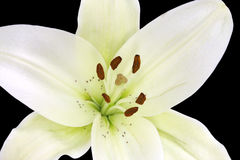 Exposed pollens in beautiful Madonna lily isolated Royalty Free Stock Photo