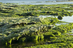Exposed Reef. A green algae covered rocky reef exposed at low tide royalty free stock photos