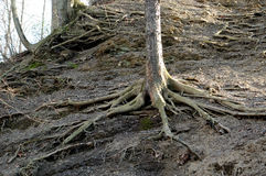 Exposed roots. Tree roots on a hill exposed by erosion Royalty Free Stock Photos