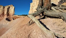 Exposed Roots. Bryce Canyon national park, utah Stock Photography