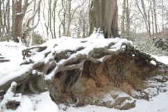 Exposed Roots in Aden Country park. Beech tree roots exposed in the snow after a heavy snowfall in Aberdeenshire Stock Image