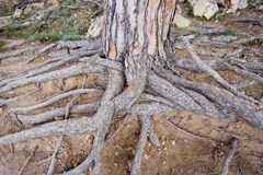 Exposed roots of a giant stone pine Royalty Free Stock Photos