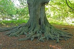 Exposed Roots. Royalty Free Stock Photography