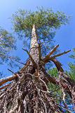 Exposed roots of the pine Royalty Free Stock Photography